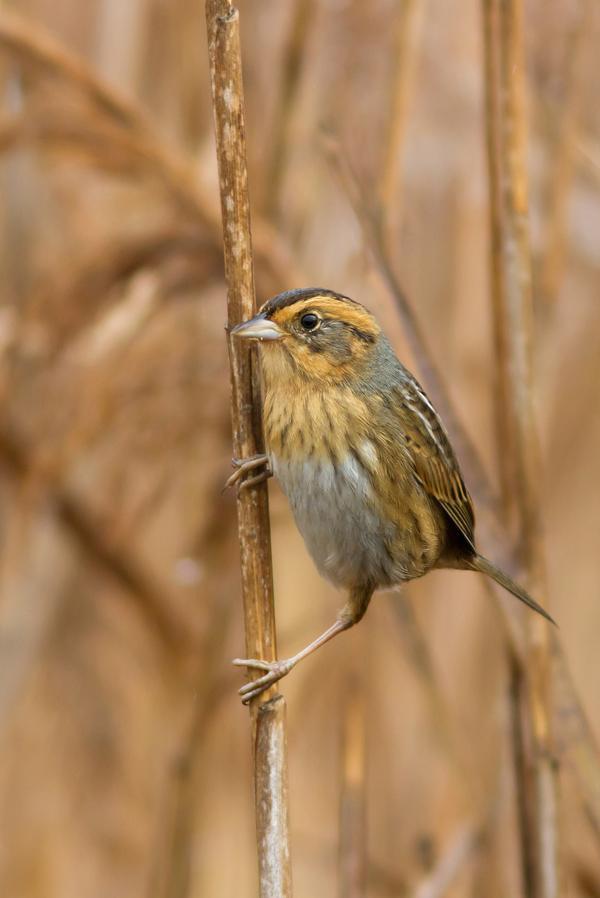 Nelson's Sparrowa111613_72ppi