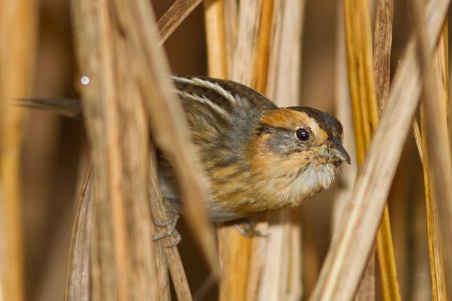 Nelson's Sparrowb111613_72ppi