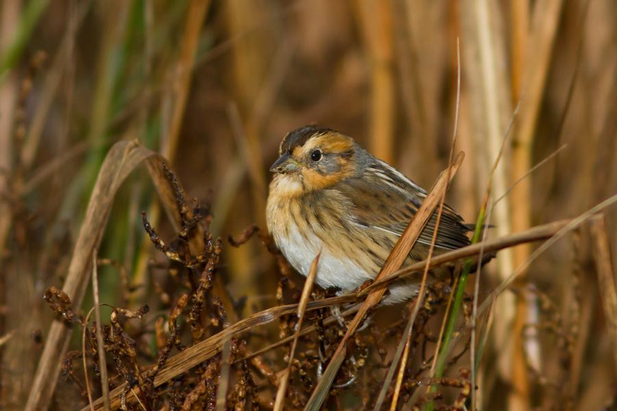 Nelson's Sparrowc111613_72ppi