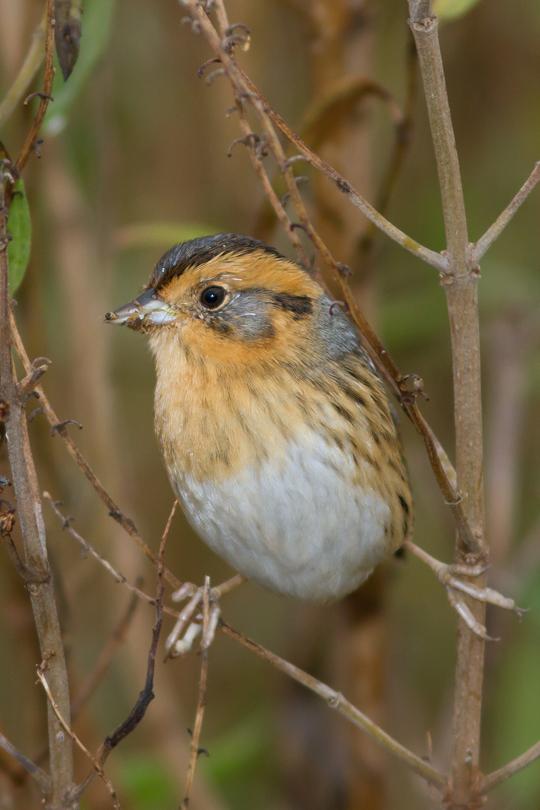 Nelson's Sparrowj111613_72ppi