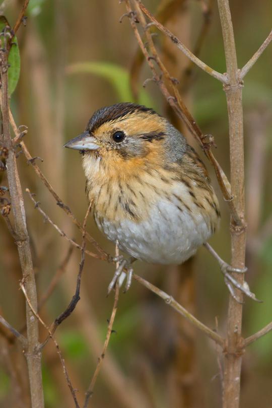 Nelson's Sparrowk111613_72ppi