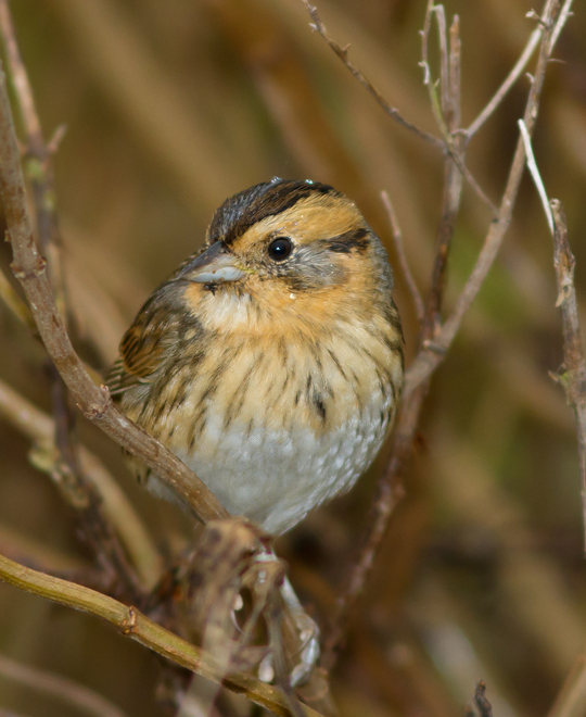 Nelson's Sparrowl111613_72ppi