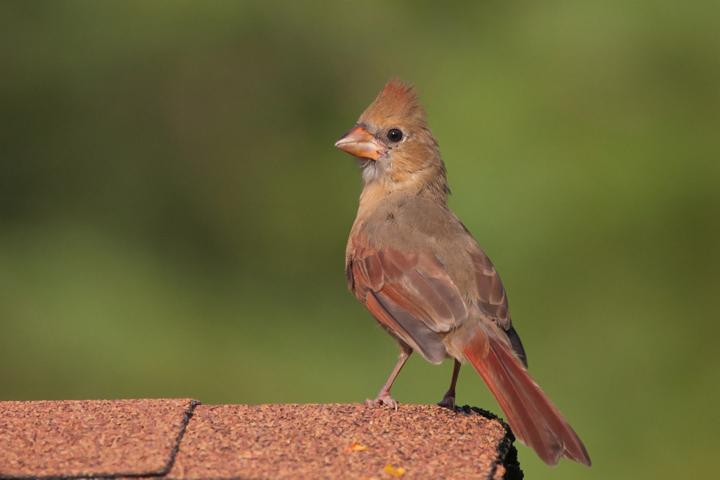 Northern Cardinal HYa092911_72ppi