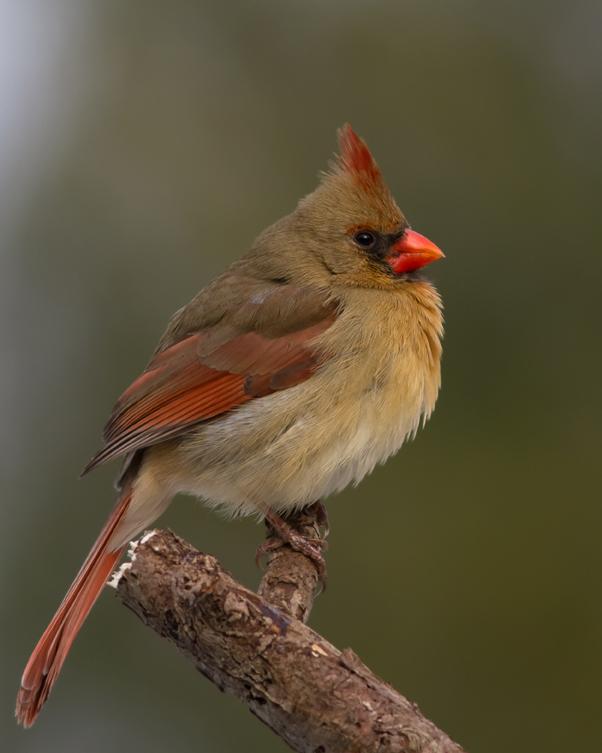 Northern CardinalFa012814_72ppi