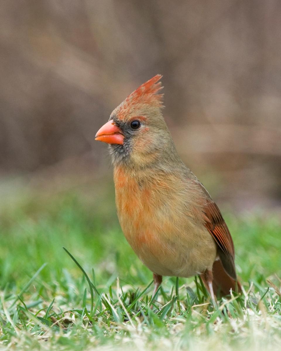 Northern CardinalFb03.14.09