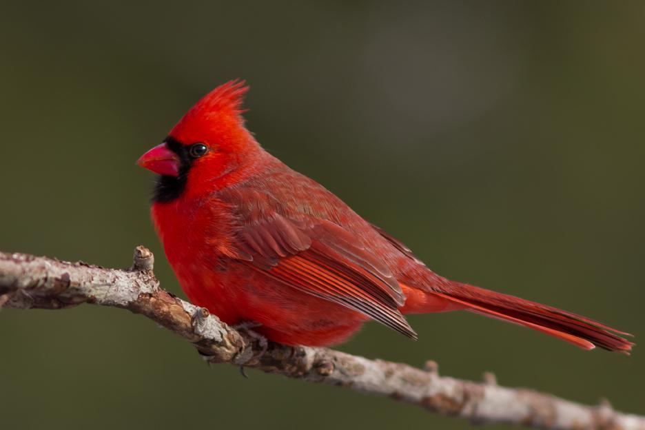 Northern CardinalMa012814_72ppi