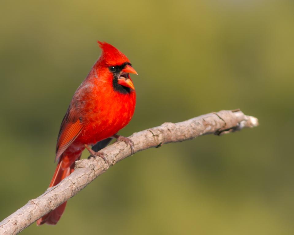 Northern CardinalMa021414_72ppi
