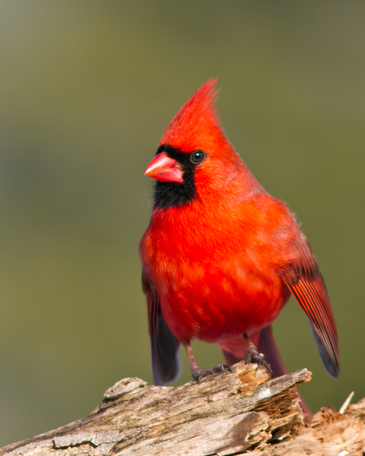 Northern CardinalMb021414_72ppi