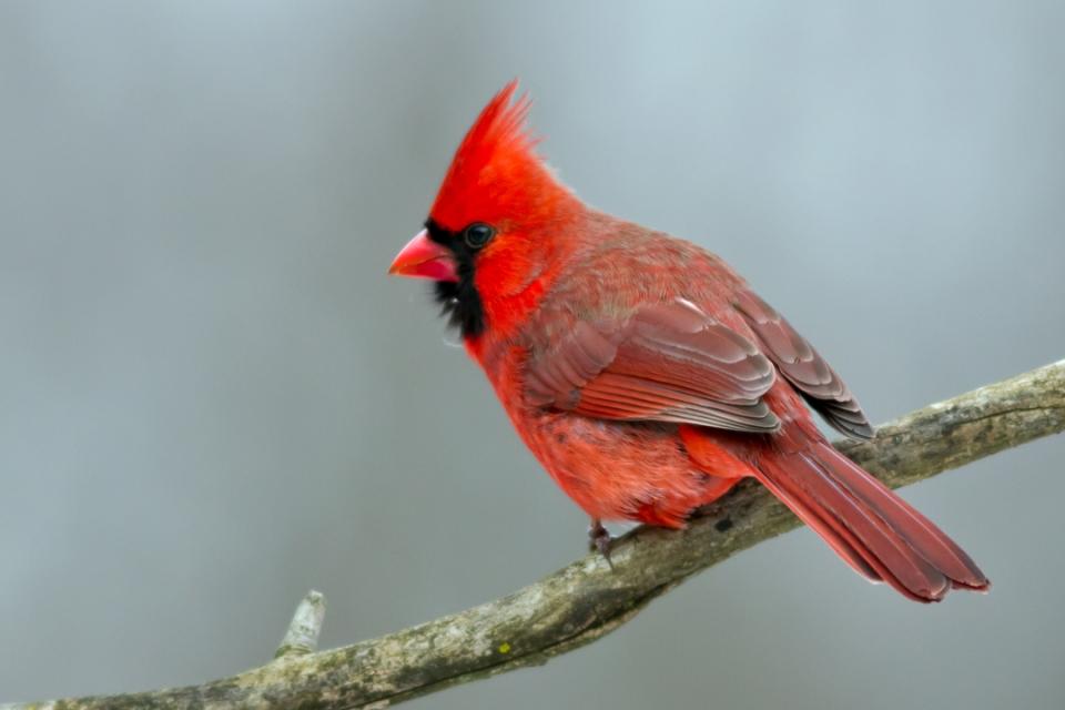 Northern CardinalMc012814_72ppi