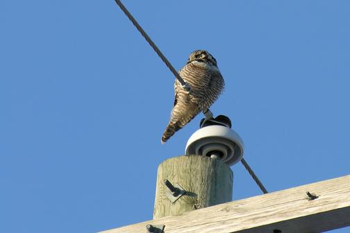 Northern hawk owla27.02.05_72ppi