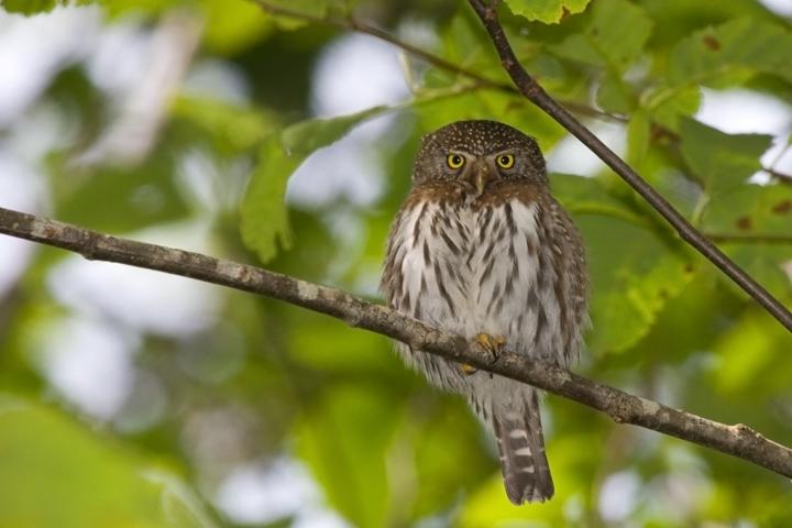 Northern Pygmy-Owla062210_72ppi