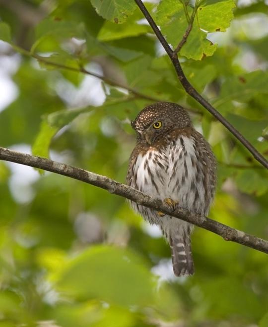 Northern Pygmy-Owlc062210_72ppi