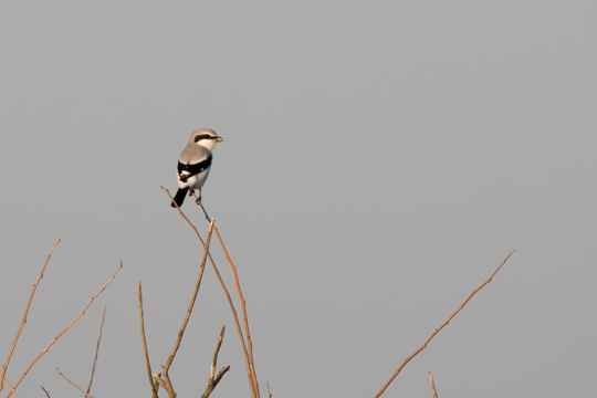 Northern ShrikeAddd112209_72ppi
