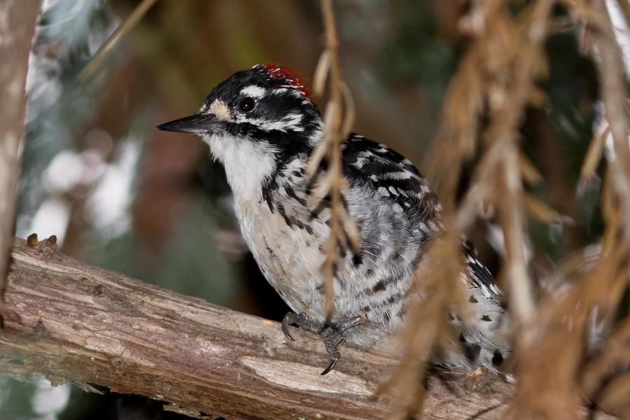 Nuttall's WoodpeckerMa082315_72ppi