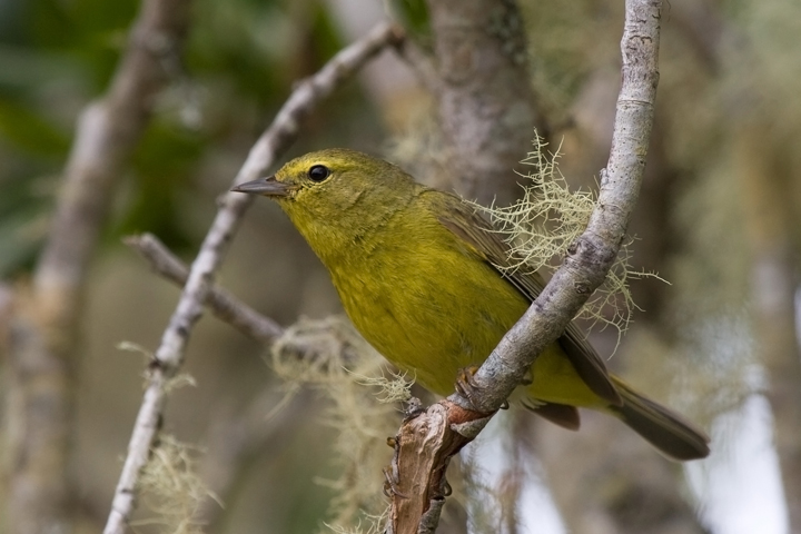 Orange-crowned WarblerMa062210_72ppi