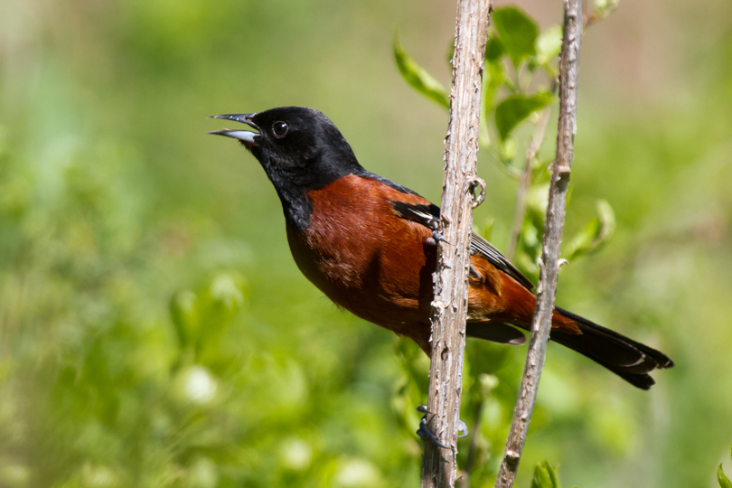 Orchard OrioleASYMb050213_72ppi