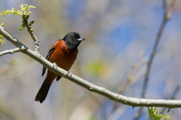 Orchard OrioleASYMl050213_72ppi