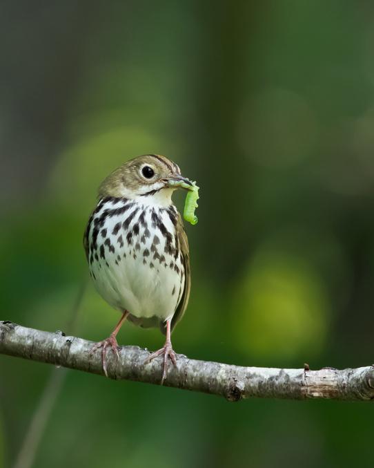 Ovenbird2_72ppi