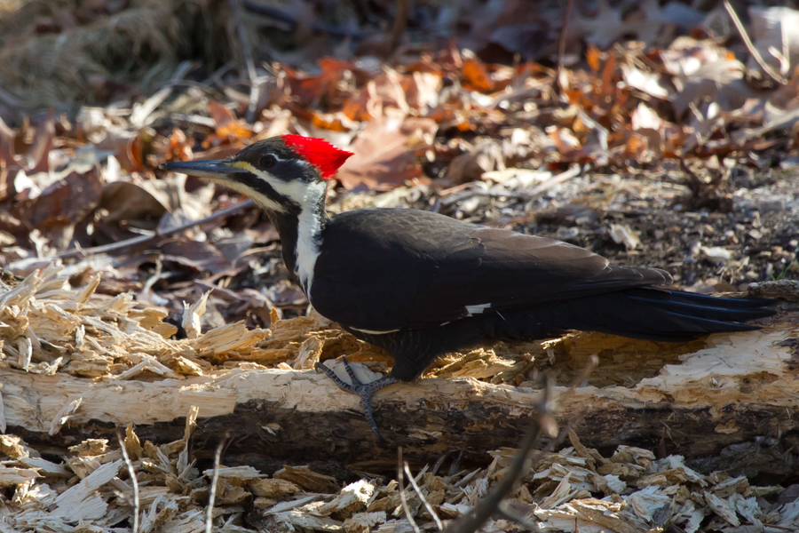Pileated WoodpeckerFa112212_72ppi