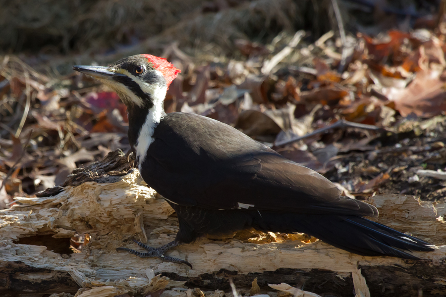 Pileated WoodpeckerFb112212_72ppi