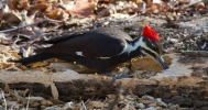 Pileated WoodpeckerFc112212_72ppi