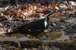 Pileated WoodpeckerFd112212_72ppi