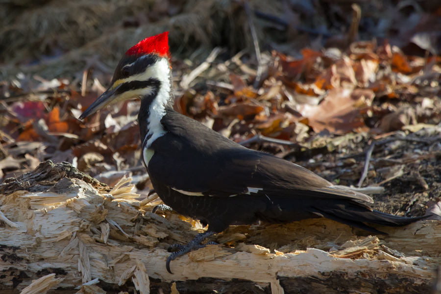 Pileated WoodpeckerFe112212_72ppi