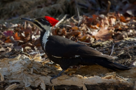 Pileated WoodpeckerFf112212_72ppi