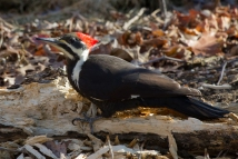 Pileated WoodpeckerFg112212_72ppi