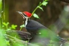 Pileated WoodpeckerMa042710_72ppi