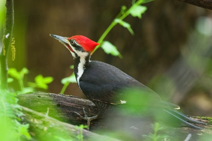 Pileated WoodpeckerMa042710_72ppi