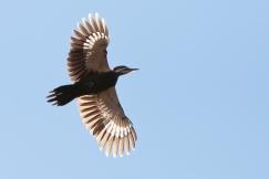 Pileated WoodpeckerMa111914_72ppi