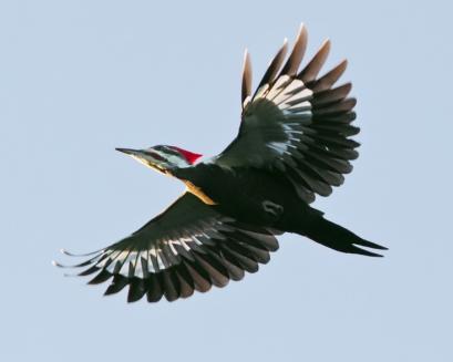 Pileated WoodpeckerMab101815_72ppi