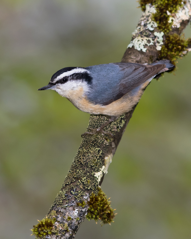 Red-breasted NuthatchMa052716_72ppi