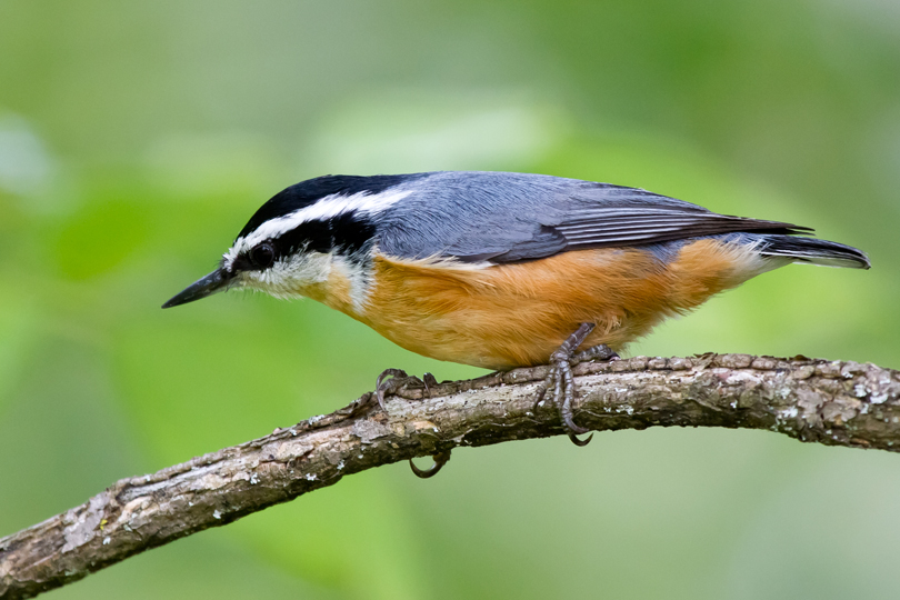 Red-breasted NuthatchMa083112_72ppi