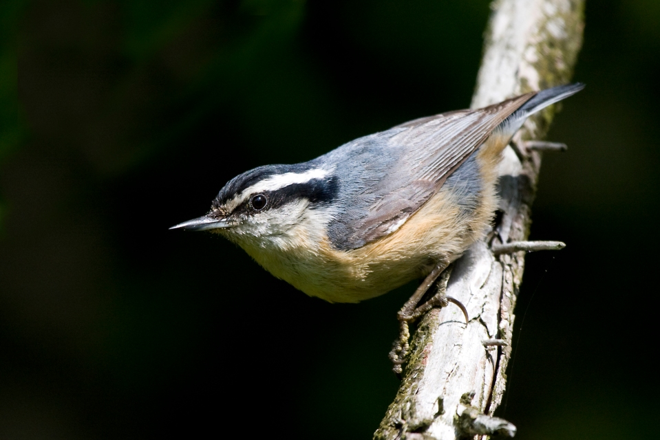 Red-breasted NuthatchMb05.31.09