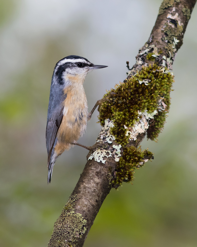 Red-breasted NuthatchMb052716_72ppi