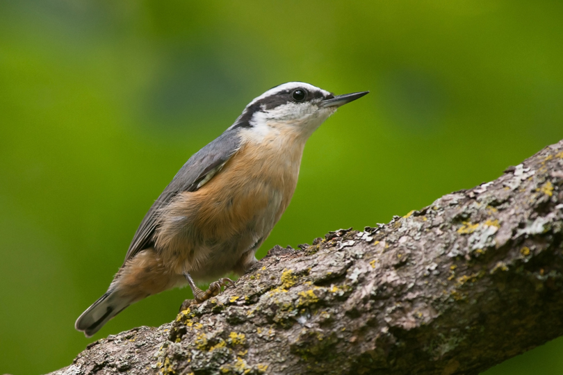 Red-breasted NuthatchMb81411_72ppi