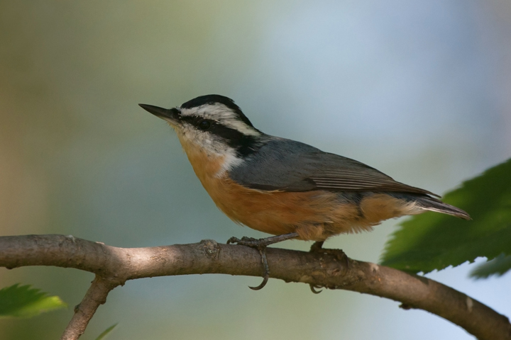 Red-breasted NuthatchMc081911_72ppi