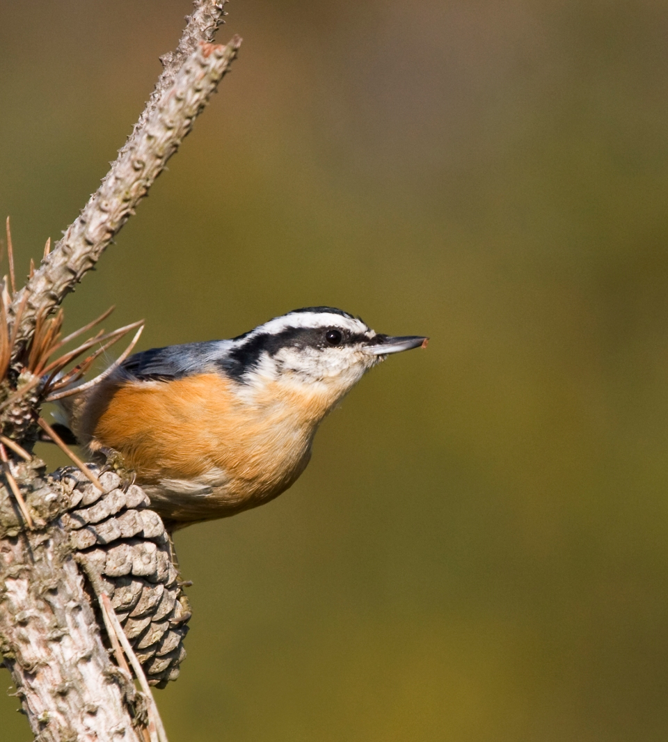 Red-breasted NuthatchMc111509