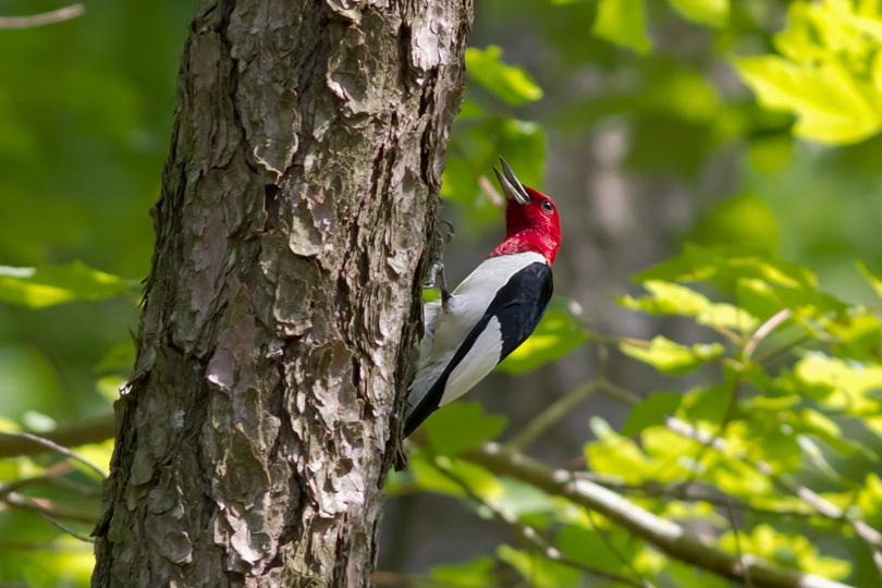 Red-headed Woodpeckera061714_72ppi