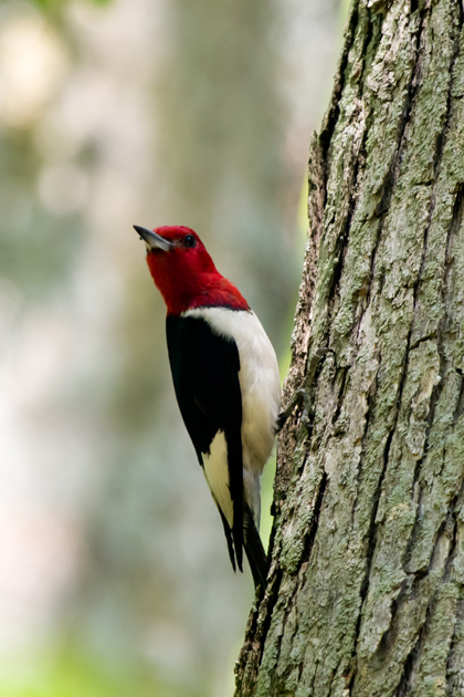 Red-headed Woodpeckere071910_72ppi