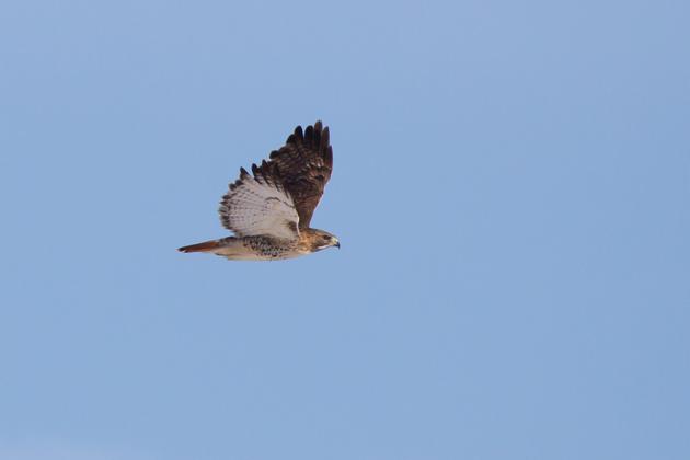 Red-tailed HawkAda012713_72ppi