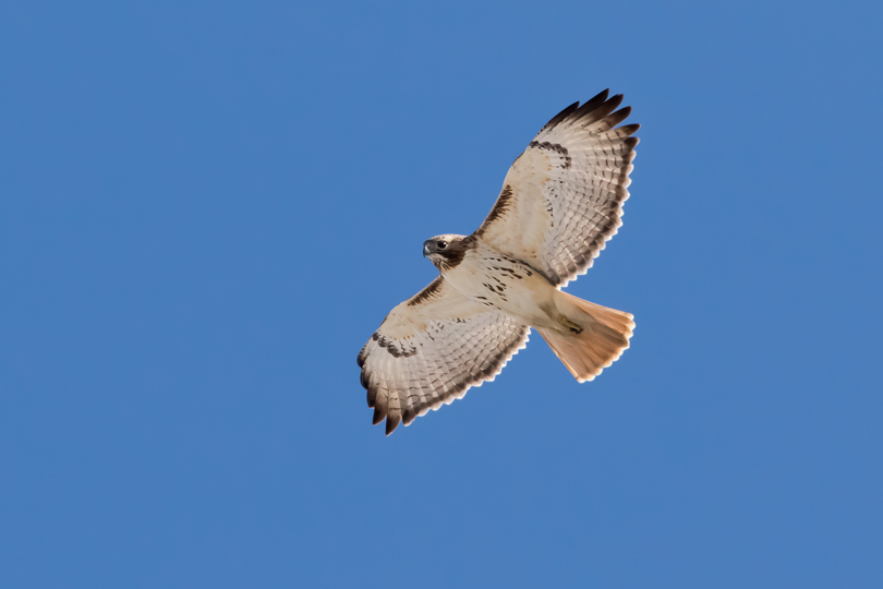 Red-tailed HawkAda030915_72ppi