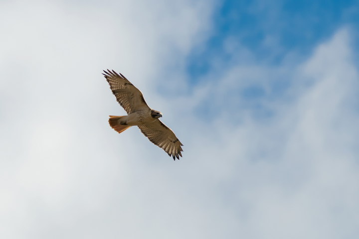 Red-tailed HawkAda110714_72ppi