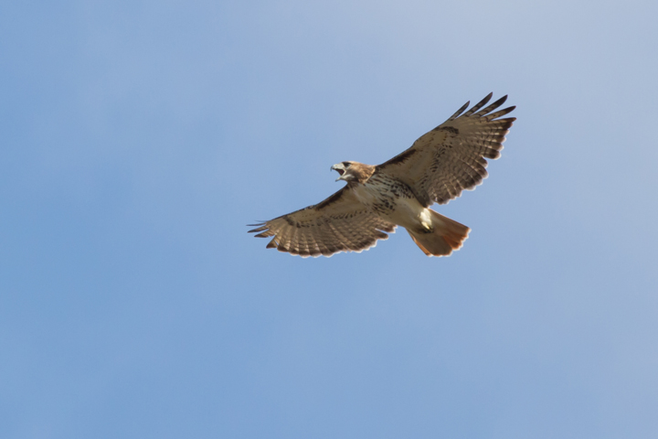 Red-tailed HawkAda112812_72ppi