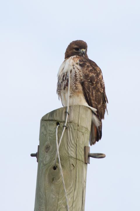 Red-tailed HawkAdb010613_72ppi