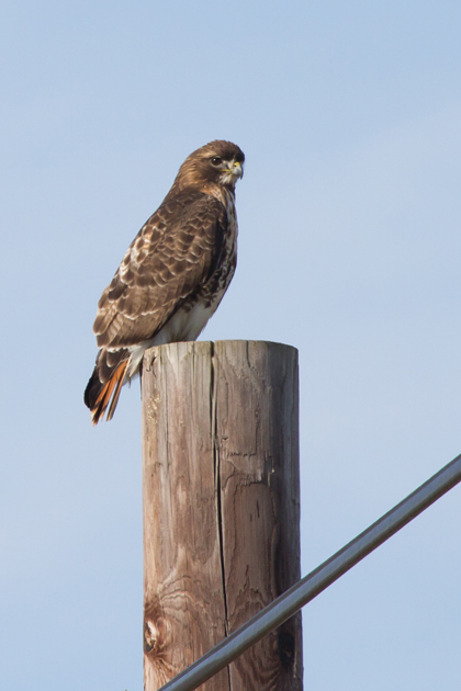 Red-tailed HawkAdb012713_72ppi