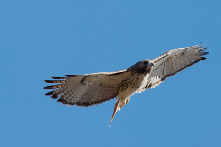 Red-tailed HawkAdb110214_72ppi