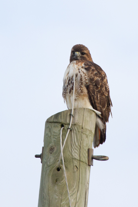 Red-tailed HawkAdc010613_72ppi